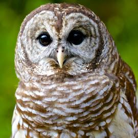 Barred owl by Sandy Scott - Animals Birds ( owl portrait, birds of prey, barred owl, owl, birds, raptors,  )