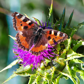 butterfly and the thistle by Kevin Towler - Animals Insects & Spiders ( butterfly, macro, thistle, nature, macro photography, nature up close, insect, flower,  )