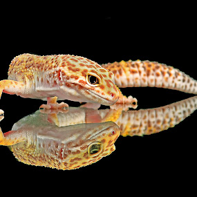 Leopard gecko 2 by Dikky Oesin - Animals Reptiles ( tame, lizard, gecko, yellow, cute, reptile, small, #GARYFONGPETS, #SHOWUSYOURPETS )