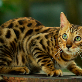 by Neni Wijaya - Animals - Cats Portraits ( cat, ciketing, mygarden, animal )