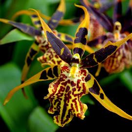 orchid by Roseann Jech - Flowers Single Flower