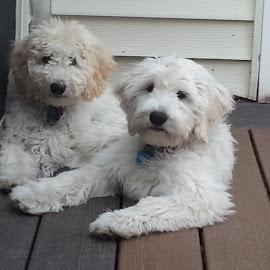 Milo and Rosie by Greg Bracco - Animals - Dogs Puppies ( puppies, greg bracco, pets, golden doodle, puppy, goldendoodle, puppy portrait, greg bracco photography,  )