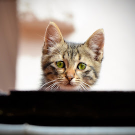 Alone  by Vladimir Milic - Animals - Cats Kittens ( animals, cat, baby, young, animal )