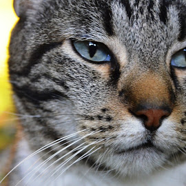 Bam by Dee Schindler VanBilliard - Animals - Cats Portraits ( cat, blue eyes, portrait, domestic cat )