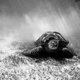 Akumal by Spino Spinelli - Animals Sea Creatures ( sea turtle, mexico, mexican caribbean, turtle, caribbean, akumal, marine turtle )