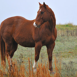 In The Pasture by Roy Walter - Animals Horses ( pose, pasture, horse, brown, mammal, animal )