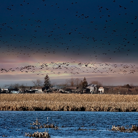 COMANA by Viorel Plesca - Landscapes Waterscapes ( viorel plesca, reed, sky, thicket, lake, morning, crows )