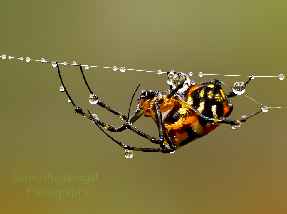 Pear-shaped Leucauge Spider