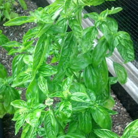 Basil by L Johnson - Food & Drink Ingredients