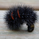 Giant Leopard Moth Caterpillar