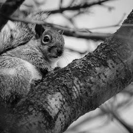 Nosey ! by Nicole Williams - Novices Only Wildlife ( b&w, tree, grey squirrel, wildlife, squirrel )