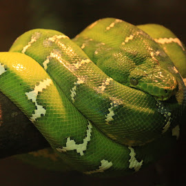 Coiled Up Green Snake by Michael Loi - Novices Only Wildlife ( snake, zoo, green, coil, sg )
