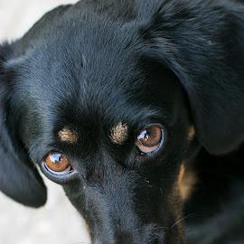 Love me please! by Zsuzsa Boka - Animals - Dogs Portraits ( black dog, pet, lovely, dog, eyes )