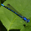 Civil Bluet