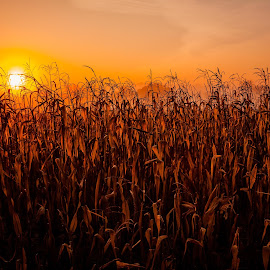 Autumn Corn Field Sunrise by Ken Brown - Landscapes Sunsets & Sunrises ( plant, maize, beauty, leaves, landscape, sun, corn, crop, nature, autumn, sunny, tall, harvest-time, grass, morning, stalks, rows, country, prime, flickr, food, fall, grain, ripe, glowing, sunrise, early,  )