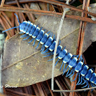 Blue Cloud Forest Millipede