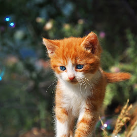 by Maja  Marjanovic - Animals - Cats Kittens ( cats, kitten, cat, animals, kittens,  )