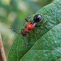Ant mimic hemipteran nymph
