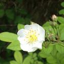 Wild running rose