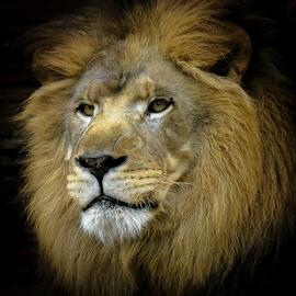 Leo 32 by Gregg Pratt - Animals Lions, Tigers & Big Cats ( lion )