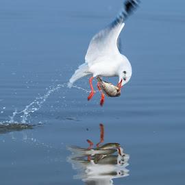 Brown Headed Gull by Jasraj Date - Novices Only Wildlife ( bird, flight, breakfast, food, bird with catch,  )