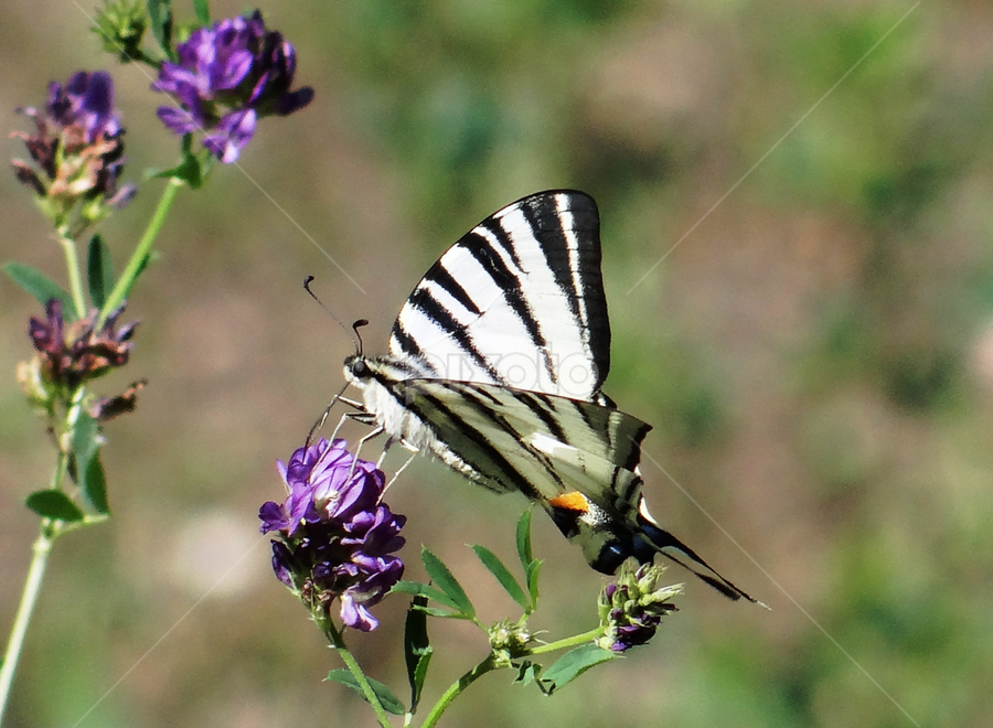 striped butterfly by Dubravka Bednaršek - Animals Insects & Spiders
