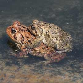 Toads by Ken Keener - Animals Amphibians ( male and female, toads, mating, american toad, amphibians,  )