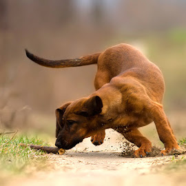 by Zoltán Túri - Animals - Dogs Playing