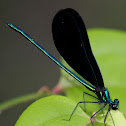 Ebony Jewelwing