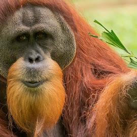 Bornean Orangutan by Seow Hong - Animals Other Mammals (  )