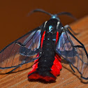 Scarlet-tipped Wasp Mimic Moth