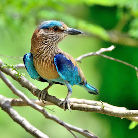 Indian Roller by Hitesh Khokhani - Animals Birds ( indian roller. )