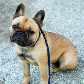 Albert by Jesse Thrush - Animals - Dogs Portraits ( bulldog, fenchie, puppy, french bulldog, dog )