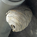 Common Wasp nest / Wespennest