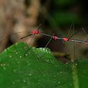Peruvian Fern Stick Insect
