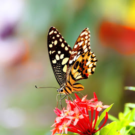 Butterfly by Anjun Manzano - Nature Up Close Gardens & Produce ( flying, orange, butterfly, red, flower )