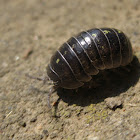 Common pill-bug