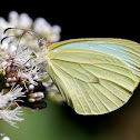 Mimic-white butterfly
