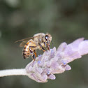 Common Honey Bee