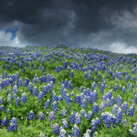 Stormy Blues by Craig Bill - Nature Up Close Other plants ( blue flowers, blue, blue bonnets, texas, storm, hill country,  )