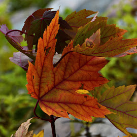 by Chandra Whitfield - Nature Up Close Leaves & Grasses ( nature, autumn, colors, fall, leaf, leaves, photography )