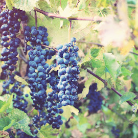 grapes by Brittany Todd - Nature Up Close Gardens & Produce ( wine, vineyard, vines, utah, grapes )