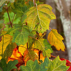 Leaves in Fall by Lowell Griffith - Nature Up Close Trees & Bushes ( leaves )