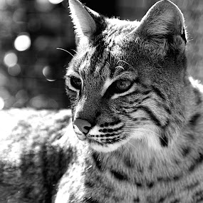 Bob Cat by Derrick DeCorte - Black & White Animals