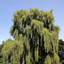 Weeping Willow by Thomas Barr - Nature Up Close Trees & Bushes
