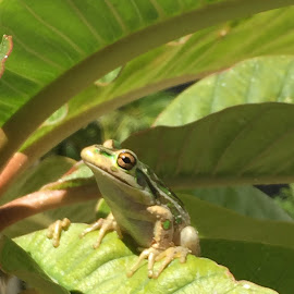 Frog by Natalie Hiddlestone - Animals Amphibians ( frogs )