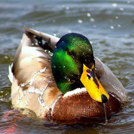 Wet & Wild by Dougetta Nuneviller - Animals Birds ( bird, water, swim, duck, wet, malard )