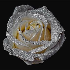 by Ben Bebe - Flowers Single Flower (  )
