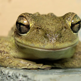 Portrait of a smiling frog by Sandy Scott - Animals Amphibians ( reptiles, cuban tree frog, frog, tree frog, amphibian,  )