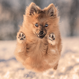 yahoo snow run in scottish highlands by Michael  M Sweeney - Animals - Dogs Puppies ( joy, puppy, snoe, michael m sweeney, dog, nikon, fast, running, pomeranian, eyes, jump )